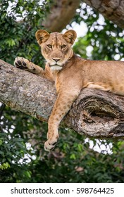 Lioness lying on a big tree. Close-up. Uganda. East Africa. An excellent illustration.
