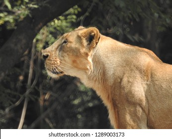 Lioness is lying on the grass resting under a tree, closeup lioness behind tree log with  detail description of eyes and face of her and a Green grass background.