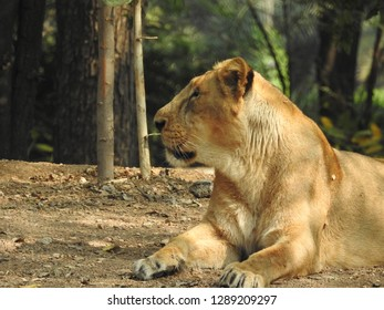 Lioness is lying on the grass resting under a tree in forest, close-up lion and lioness sitting on brown ground with amazing view.young lion (Panthera leo) without a mane in natural habitat
