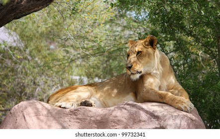 Lioness lying on a large rock in the shade.