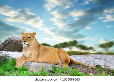 Lioness lying on a rock at sunset.