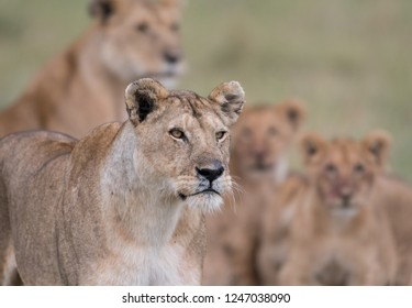A lioness in Masai Mara Game Reserve with female and cubs in background.