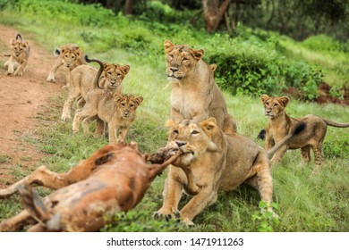 Lioness mom teaching hunting lesson