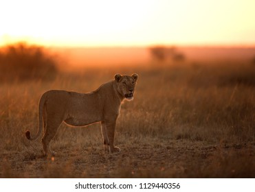 Lioness in the morning light, Masai Mara, a backlit image
