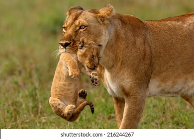 Lioness mother carries her baby to a new safe place in Masai Mara National Reserve, Kenya