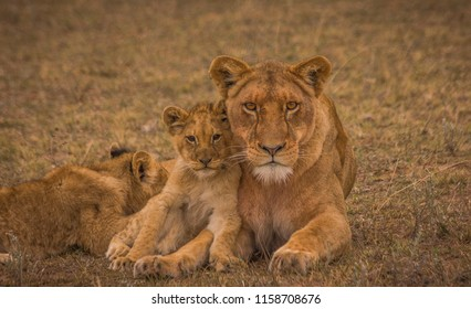 Lioness mother with her cubs and feeding them in a private game reserve in the Eastern Cape, South Africa/