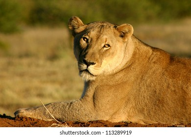 Lioness, Namibia