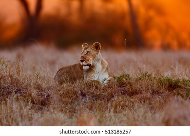 Lioness Napejo of Rongai Pride at sunset in Masai Mara, Kenya