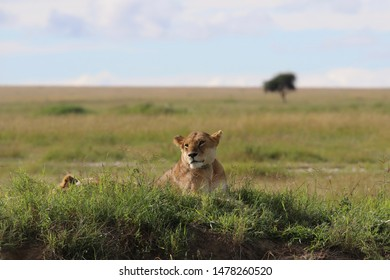 Lioness with newborn Lion cubs, Serengeti, Tanzania