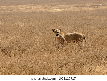 Lioness in Ngorongoro Crater