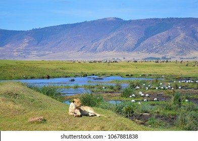 Lioness in the Ngorongoro Crater