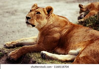 lioness at Ngorongoro Crater