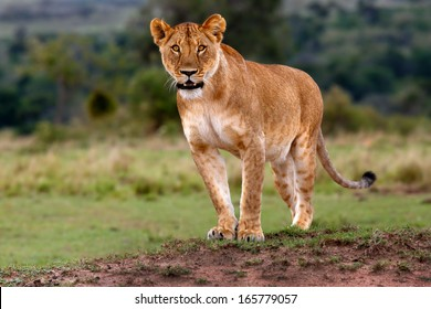 Lioness observed three Cheetahs and gets ready to chase them in Masai Mara, Kenya