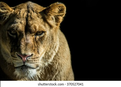 lioness on black background