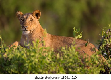 Lioness on a dry tree trunk surrounded by bushes in Samburu National Reserve, Kenya