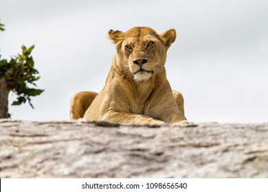 Lioness on a granite kopje in Serengeti National Park in Tanzania
