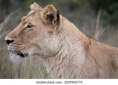 Lioness on a hunt