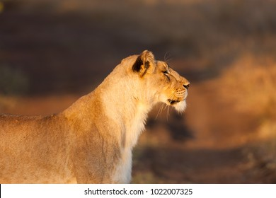Lioness on the hunt, Phinda Game Reserve, South Africa