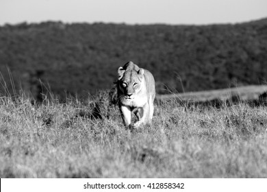 A lioness on the prowl in a safari park in South Africa