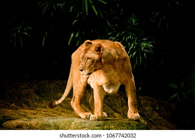 Lioness on the stone