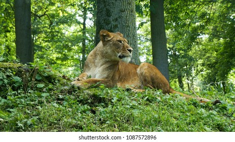 Lioness on the watch in Longleat Park sitting under trees surrounded by green