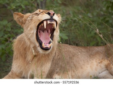 Lioness, one yawning with showing teethes, Transvaal or Southeast African lion, Panthera leo krugeri resting in the green savana. Timbavati game reserve, Kruger area, South Africa.