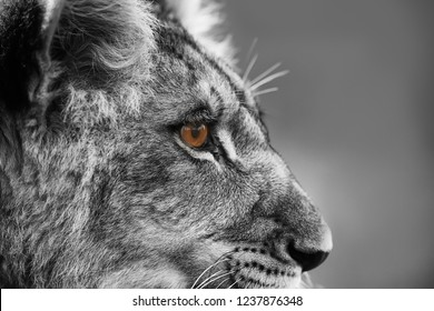 lioness (Panthera leo) close up portrait blacka and white