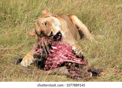 Lioness (Panthera Leo) Feeding on a Wildebeest. Maasai Mara, Kenya