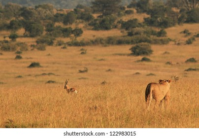 Lioness (Panthera Leo) Hunting a Thomson Gazelle in the Morning Light, Maasai Mara, Kenya
