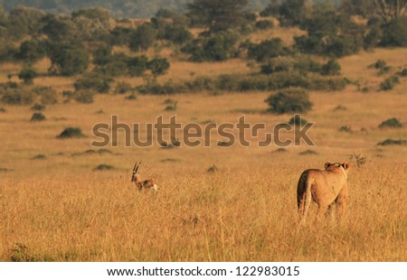 Lioness Panthera Leo Hunting Thomson Gazelle Stock Photo Edit Now