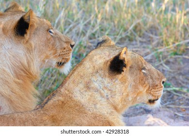 Lioness (panthera leo) and lion lying in savannah in South Africa