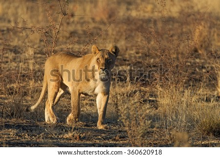 Lioness Panthera Leo On Prowl Sunrise Stock Photo Edit Now
