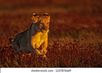lioness (Panthera leo) in the savannah late afternoon close to sun set