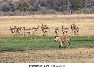 Lioness (Panthera leo) stalking herd of red lechwe in Moremi, Okavango Delta, Botswana. Wild lions are a threatened species with declining populations due to habitat loss and conflict with humans.