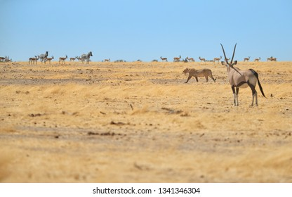 Lioness, Panthera leo, walking in dry savanna against herds of springbok antelopes, watched by Oryx antelope.Typical african animals scene. Wildlife photography in Etosha national park, Namibia.
