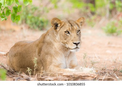 Lioness photographed on safari with Villiers Steyn in the Kruger National Park in South Africa. This Lioness had a very small cub that she was keeping well hidden