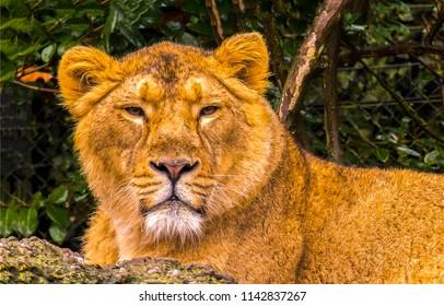 Lioness portrait. Lioness eyes. Liones face head