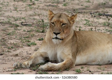 Lioness portrait in the savanna - south africa