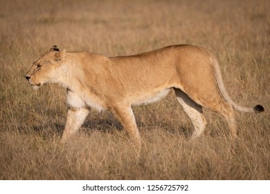 Lioness in profile walks across dry savannah