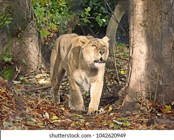 Lioness prowling around