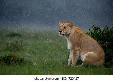 Lioness in rain