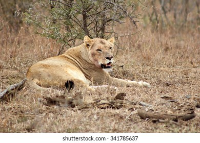 A lioness relaxing after a kill in a nature reserve in South Africa. Note the blood stains around her neck.