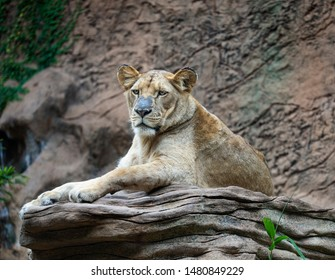 lioness resting on a rock