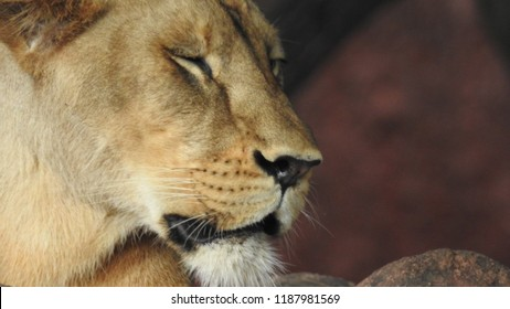 Lioness resting on rock a close-up look  with isolated background and covered with trees in forest. African female lion extreme detail closeup look. lioness portrait, head profile on soft background