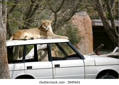 Lioness resting on top of a Range Rover