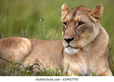 A lioness rests in a grass field. South Africa
