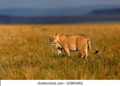 Lioness in the savannah of the Masai Mara just before the thunderstorm