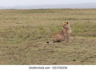 Lioness in Serengeti Grasslands of Tanzania