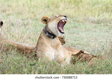 Lioness showing teeth, african wild life