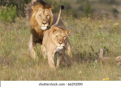 A lioness shows her distaste and aggression prior to a charge.